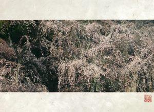 Sakura at Kyoto Gyoen